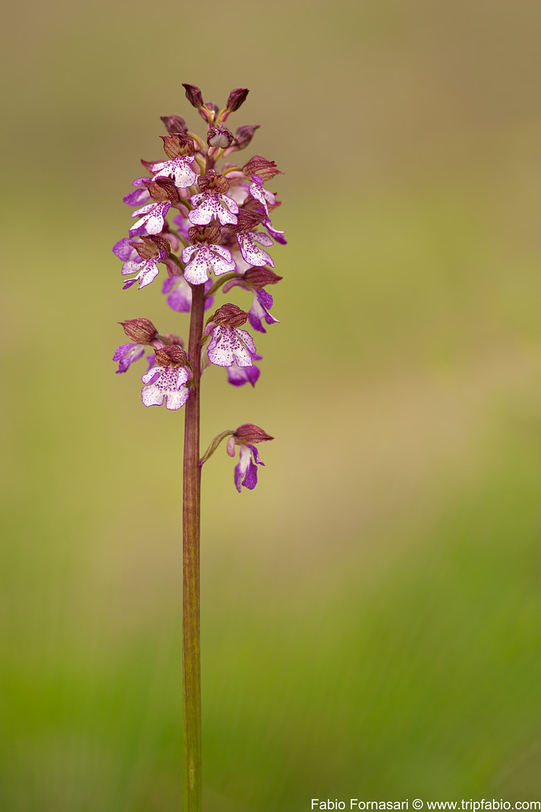 Photograph Orchis purpurea by Fabio Fornasari on 500px