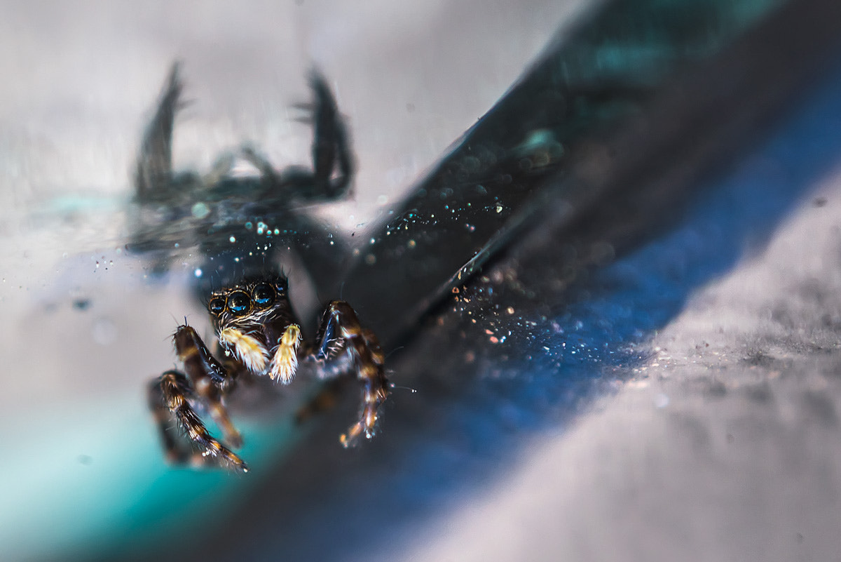 Photograph Jumping spider (lying on his back) by invertedlens on 500px