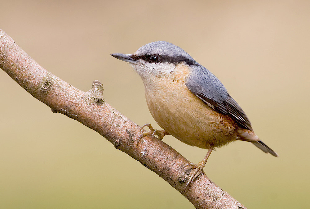 Photograph Nuthatch by Derek Lees on 500px