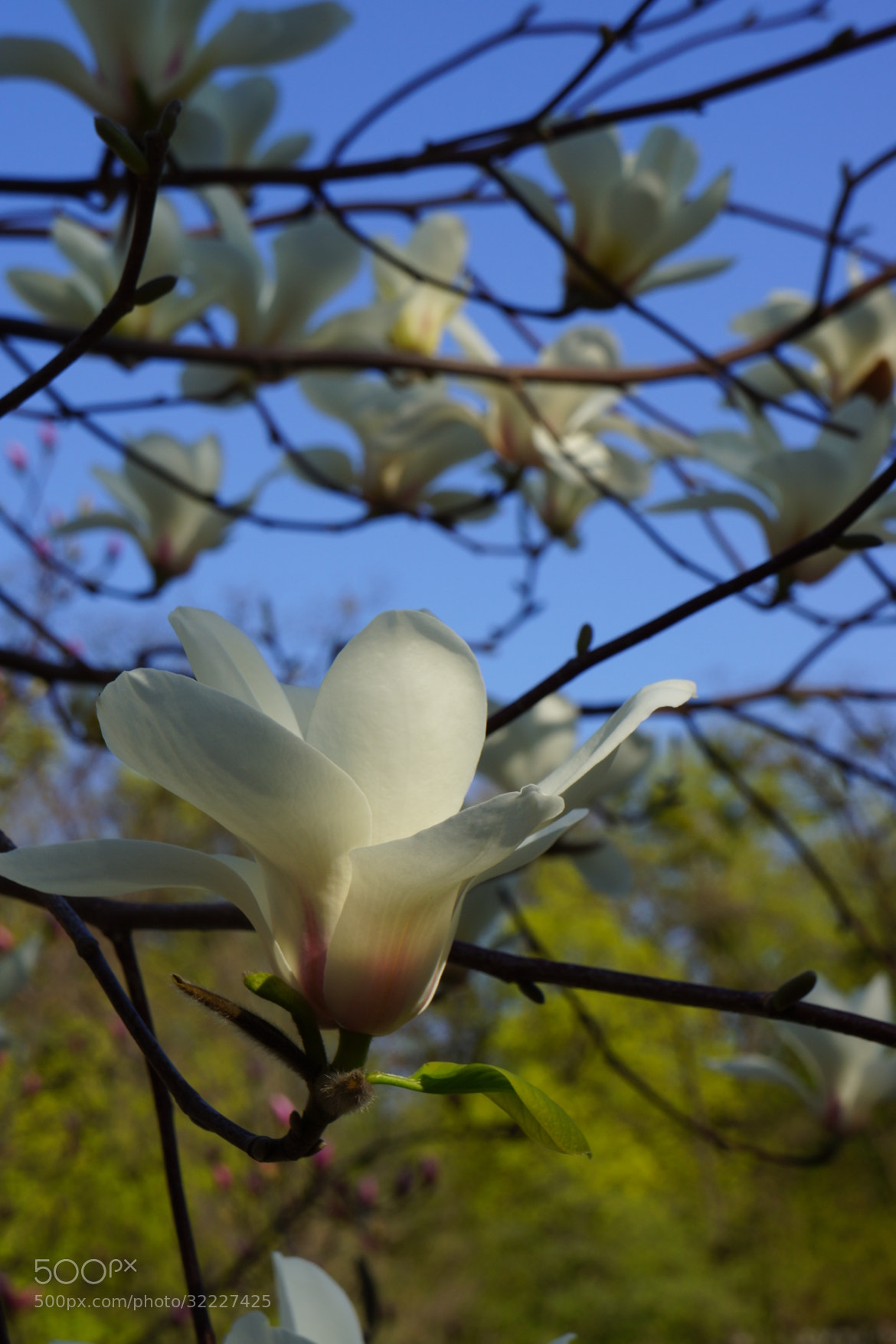 Photograph White Magnolia by Oleksandr Maistrenko on 500px