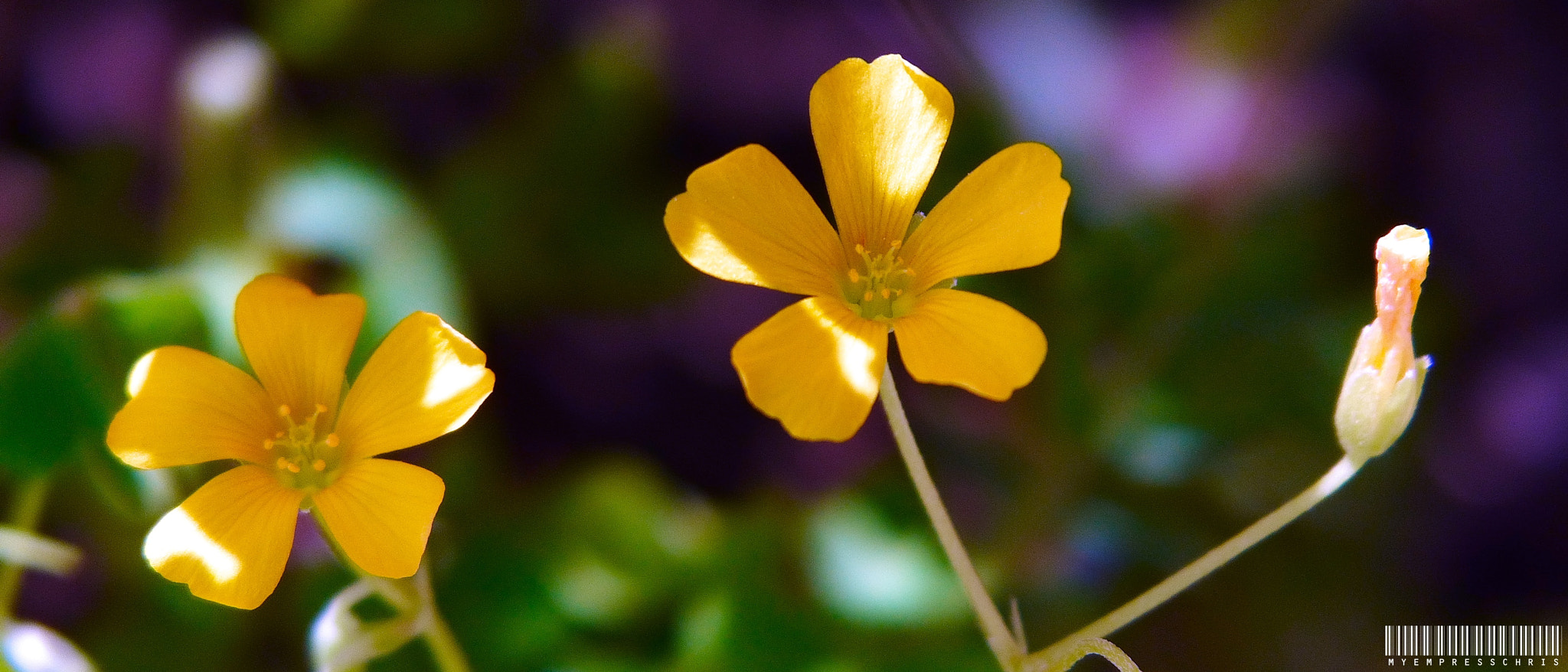 Photograph Twin Bloom & A Bud by Christine Rica Bryant on 500px