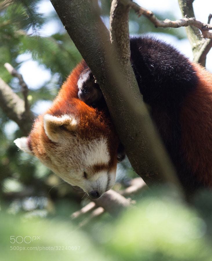 Photograph Red Panda 1 by Andrea Ripamonti on 500px