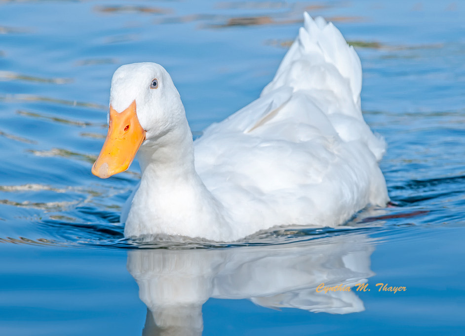 Photograph Peking Duck by Cynthia Mathre Thayer on 500px