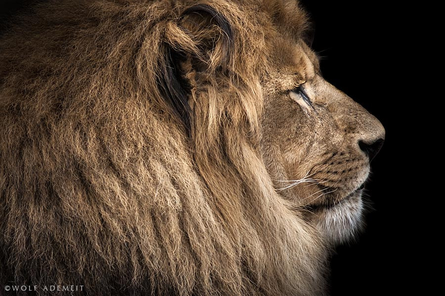 Photograph old lion profile by Wolf Ademeit on 500px