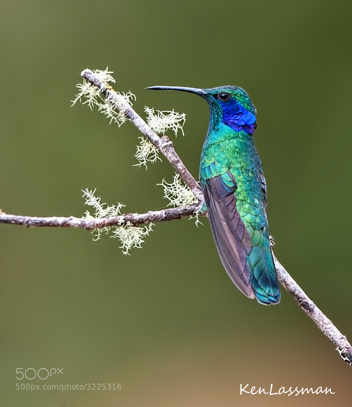 Photograph Green-Violet Earred Hummingbird by Ken  Lassman on 500px