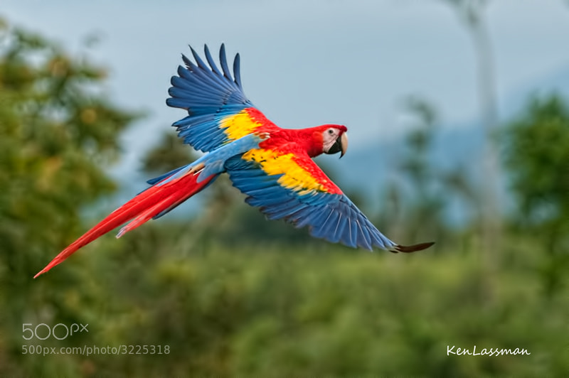 It was amazing to see this bird flying in the wild in Costa Rica.  They are majestic