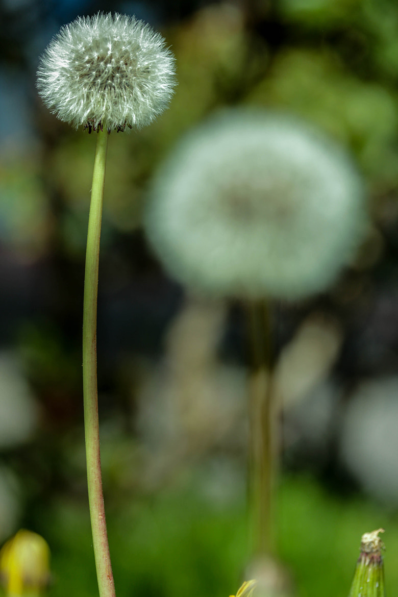Photograph dandelion blur by Patricia Roe on 500px