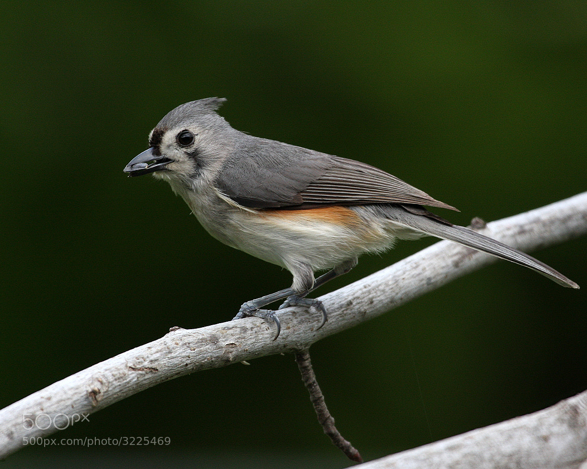 Photograph Titmouse by Rusty Wood on 500px