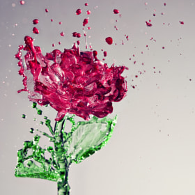 A Splash of Rose by Anthony Chang on 500px.com