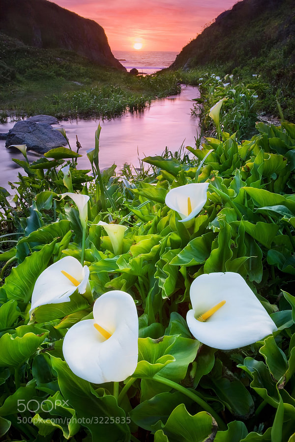 Photograph Calla lilies in Spring by Long Nguyen on 500px