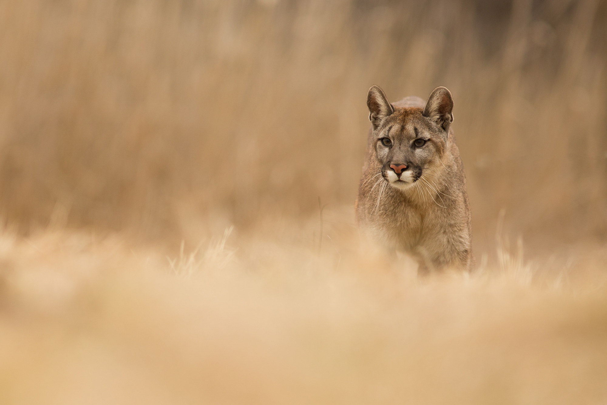 Photograph Puma Concolor by Milan Zygmunt on 500px
