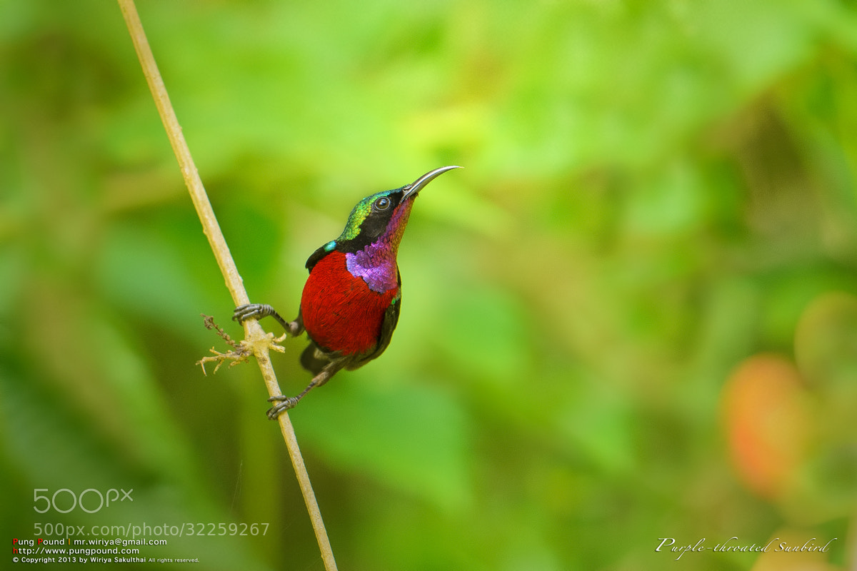 Photograph Purple-throated Sunbird by Wiriya Sakulthai on 500px