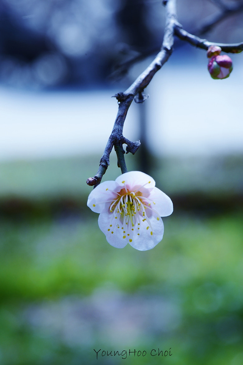 Photograph Plum blossom by YOUNG-HOO CHOI on 500px