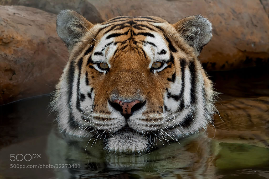 Photograph Bathing Tiger by Stu Bowie on 500px
