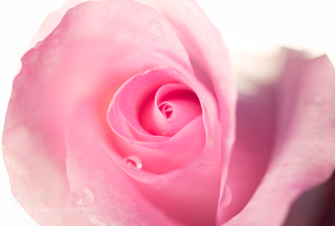 Photograph Pink Rose by Lisa Bettany on 500px