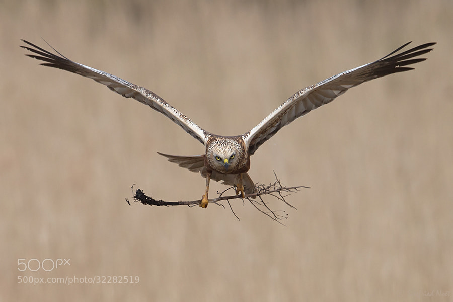 Photograph Western Marsh Harrier - Male I by Siegfried Noët on 500px