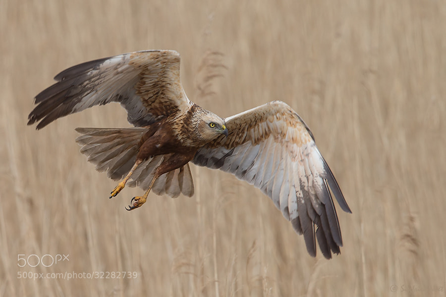 Photograph Western Marsh Harrier - Male II by Siegfried Noët on 500px