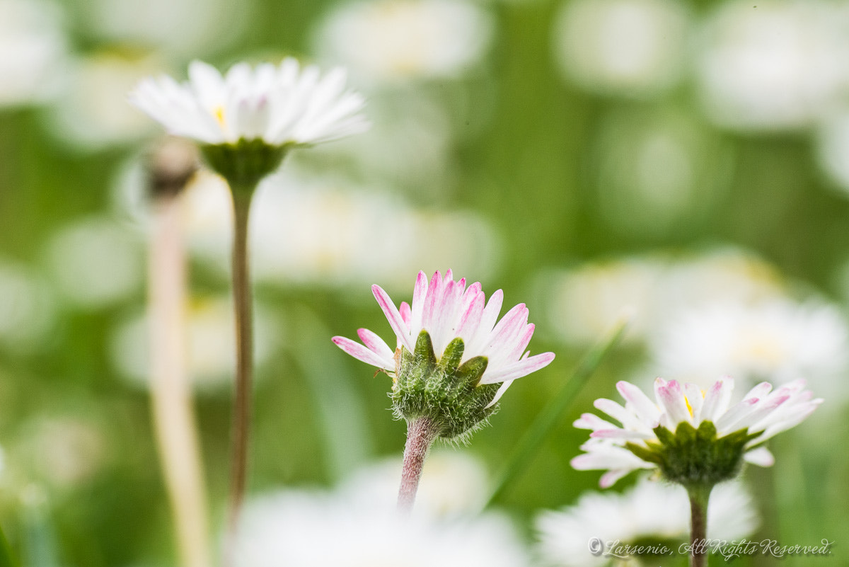 Photograph Daisies by Roberto Flamini on 500px