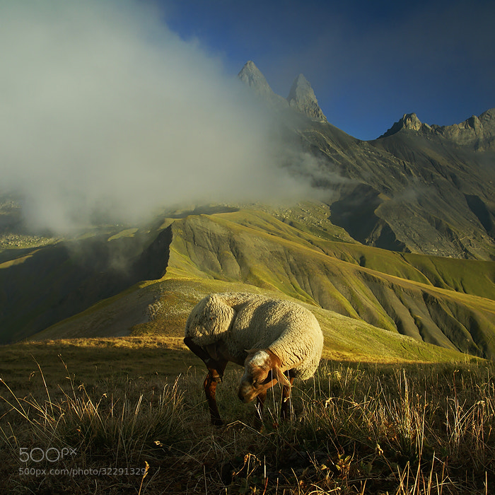 Photograph Injured Sheep by Karol Nienartowicz on 500px