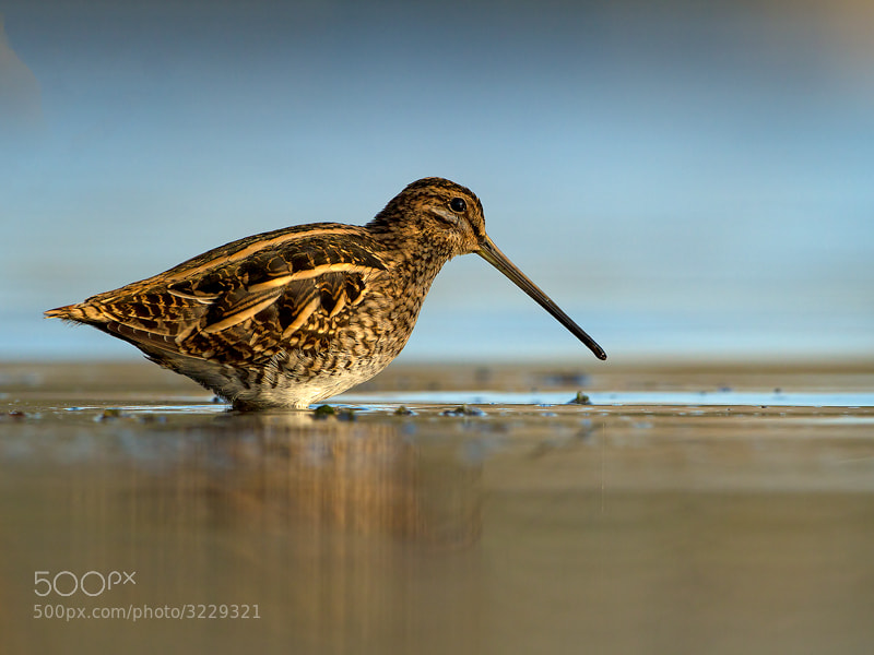 Photograph Snipe by Cor Visser on 500px