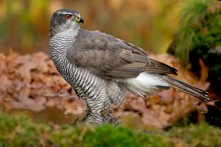 Photograph Goshawk by Cor Visser on 500px