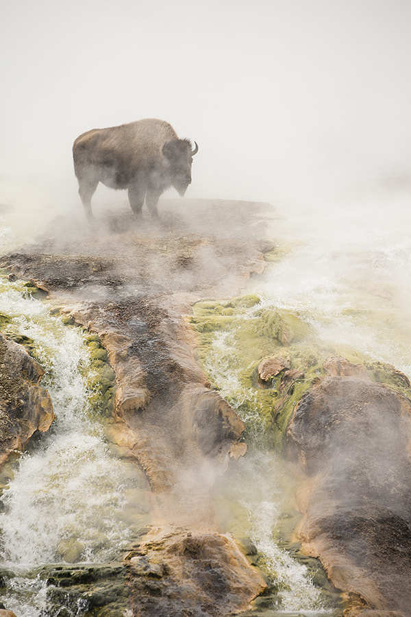 Photograph Steamy bison! by Peter Cairns on 500px
