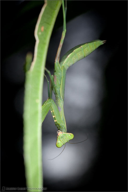 Photograph Shy Mantis by Martin Bailey on 500px