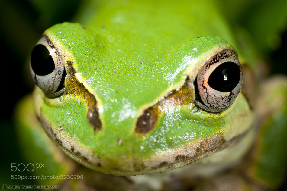 Photograph Japanese Tree Frog by Martin Bailey on 500px