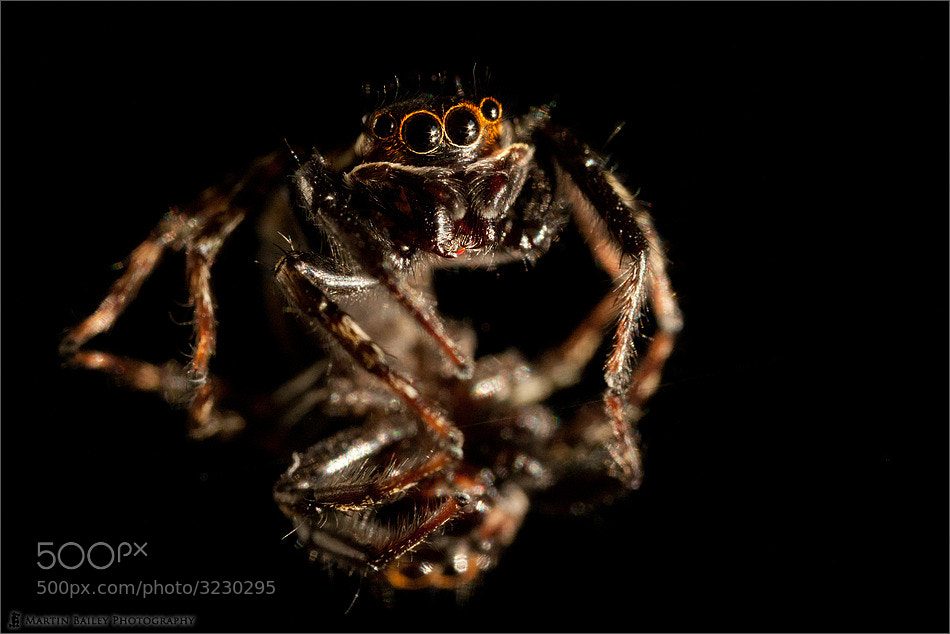 Photograph Jumping Spider by Martin Bailey on 500px
