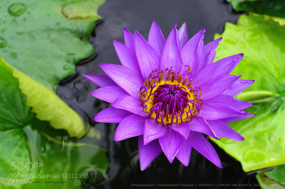 Photograph purple lotus by Matcenbox  on 500px
