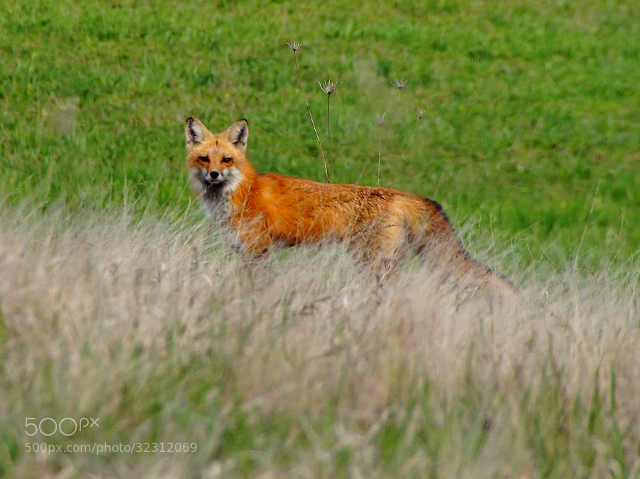This Red Fox took a moment from hunting to inquire as to what I was doing pointing a camera at it.