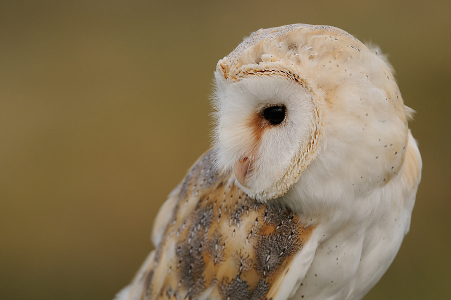 The Barn Owl is a pale, long-winged, long-legged owl with a short squarish tail. Depending on subspecies, it measures about 25–45 cm (9.8–18 in) in overall length, with a wingspan of some 75–110 cm (30–43 in). Tail shape is a way of distinguishing the Barn Owl from true owls when seen in flight, as are the wavering motions and the open dangling feathered legs. The light face with its heart shape and the black eyes give the flying bird an odd and startling appearance, like a flat mask with oversized oblique black eyeslits, the ridge of feathers above the bill somewhat resembling a nose.