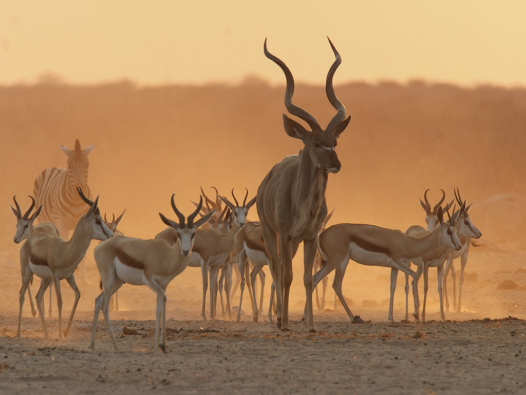 Photograph Greater Kudu, Burchell's Zebra and Springbok backlit in the late by Charlie Summers on 500px
