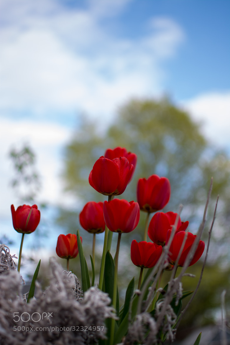 Photograph Red Tulips by Pawel Furgal on 500px
