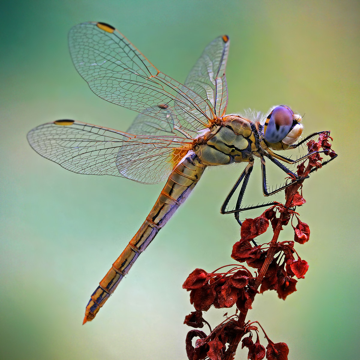 Photograph the colors of the dragonfly by ivo pandoli on 500px
