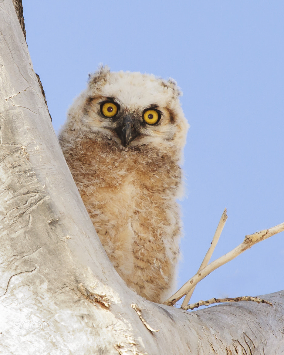 Photograph Great Horned Owl (Juvenile) by Brandon Downing on 500px