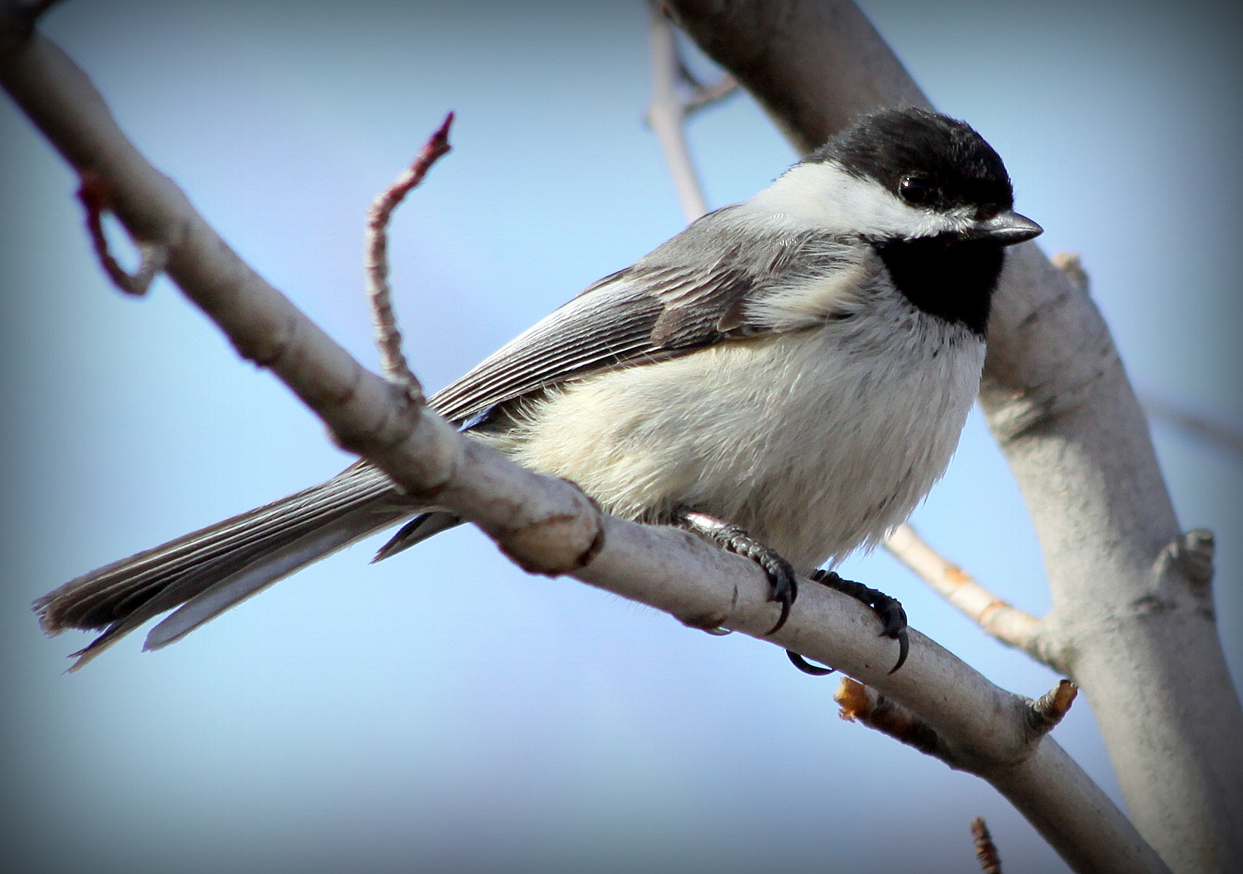 Photograph Black Capped Chickadee by Kevin Fechtelkotter on 500px