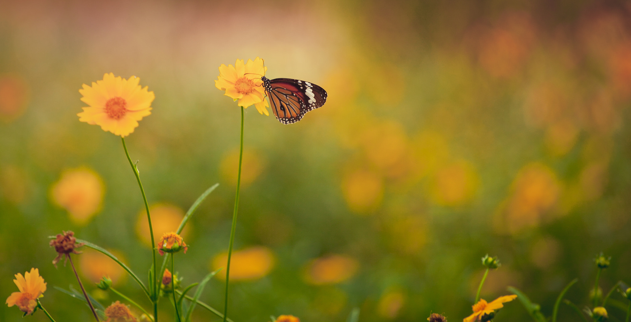 Photograph Tiger Butterfly  by sandeep kumar on 500px