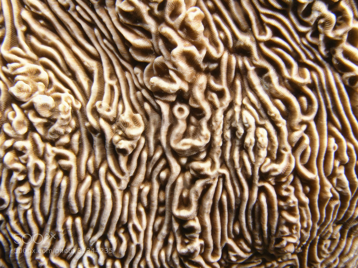 Photograph  Unique Pattern of Brain Coral by ColorsofOceans on 500px