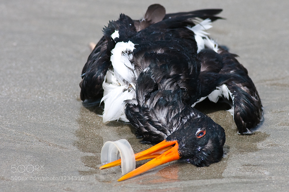 Photograph This Oystercatcher died from the pollution in our seas by Craig Nash on 500px