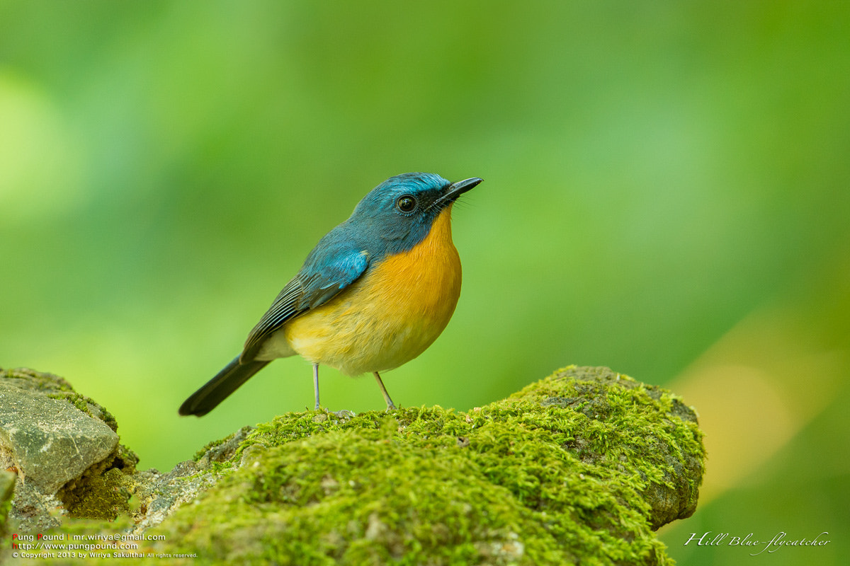 Photograph Hill Blue-flycatcher by Wiriya Sakulthai on 500px