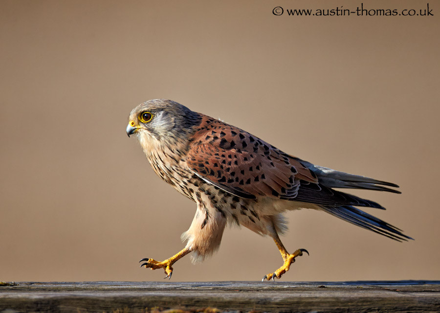 A Kestrel Marching...