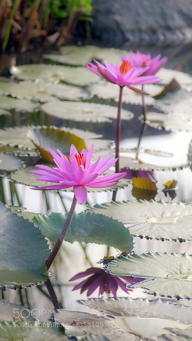Photograph Three Lotus by Tjarliman Rusadi on 500px
