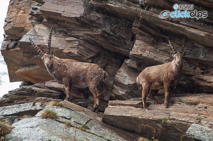 Photograph Come guardiani di pietra... - Stambecco, Capra ibex (Valsavarenche, Parco Nazionale Gran Paradiso, V by Francesco Sisti on 500px