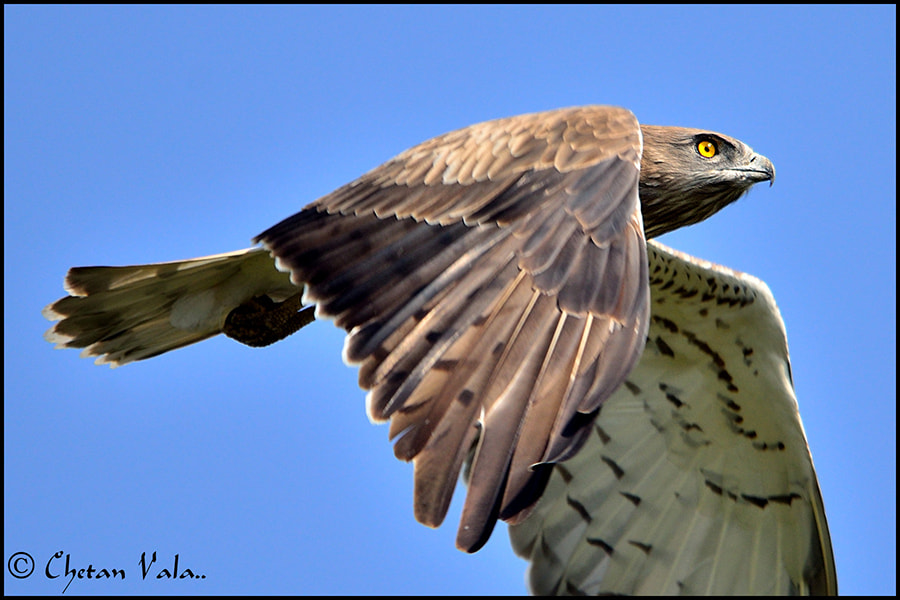 Photograph Short Toed Snake Eagle - 2 by chetan vala on 500px