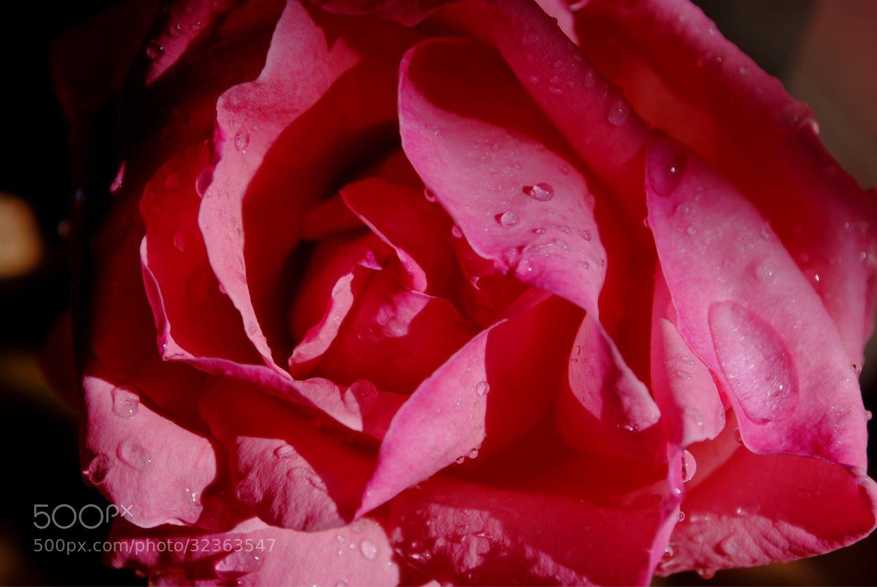 Photograph Rosa by chuchurria  on 500px