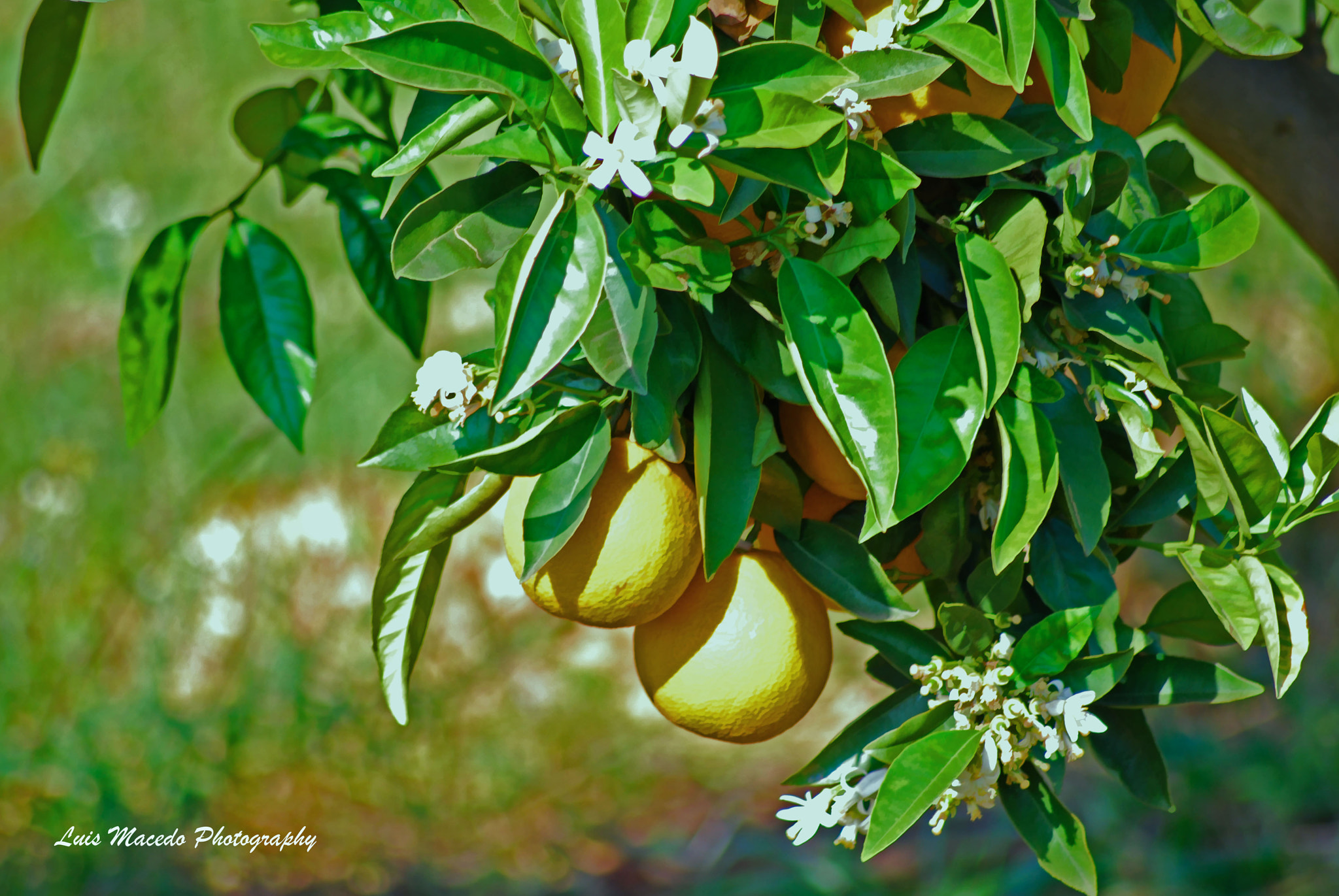 Photograph Tavira - Oranges - The Best On World by Luis Pereira on 500px