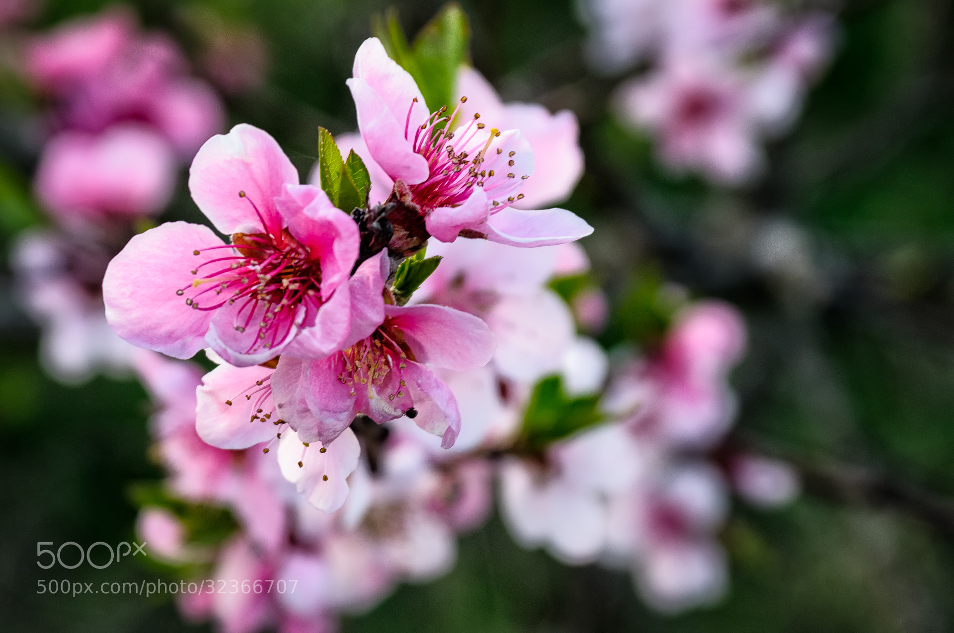 Photograph Cherry Blossom by Ernst Gamauf on 500px