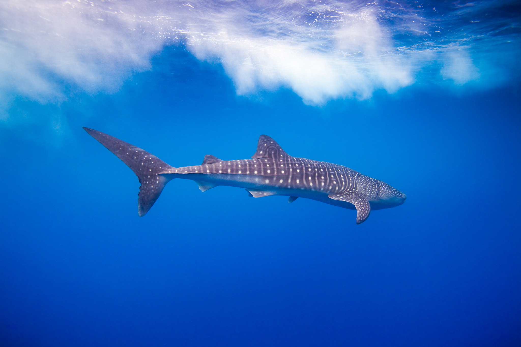 Photograph Whale Shark in the Surf by Tony Rath on 500px