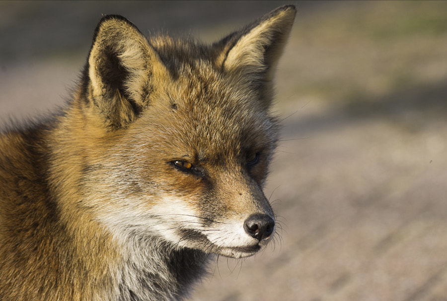 Photograph Red fox by Eric Faber on 500px